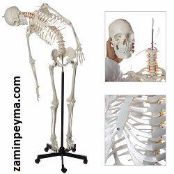 مولاژ اسکلت بدن انسان