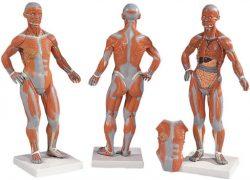 مولاژ عضلات بدن انسان قابل تفکیک