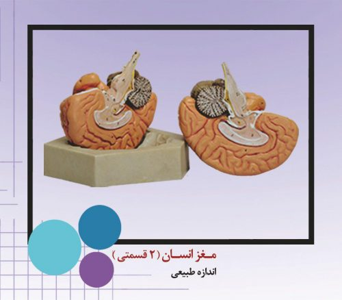 مولاژ مغز انسان دو تیکه بدنه pvcنشکن