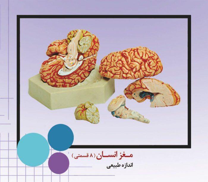 مولاژ مغز انسان هشت تیکه بدنه pvcنشکن