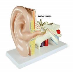 مولاژ گوش انسان قابل تفکیک